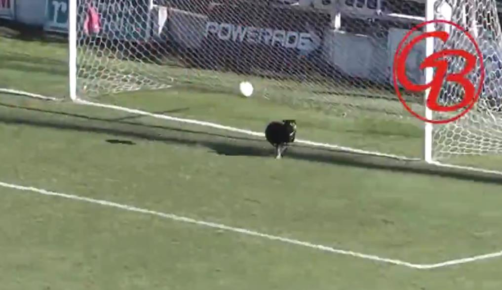 成精了!阿根廷联赛小狗挡出必进球